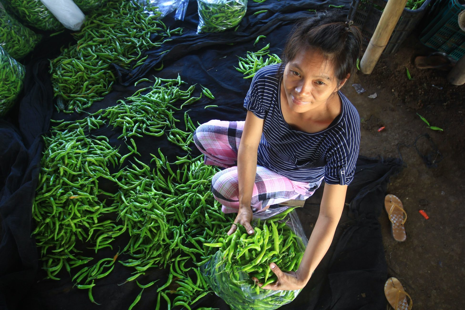 Photo taken from above of a Asian woman crouched down to put long green peppers, scattered over the ground, into a plastic bag.