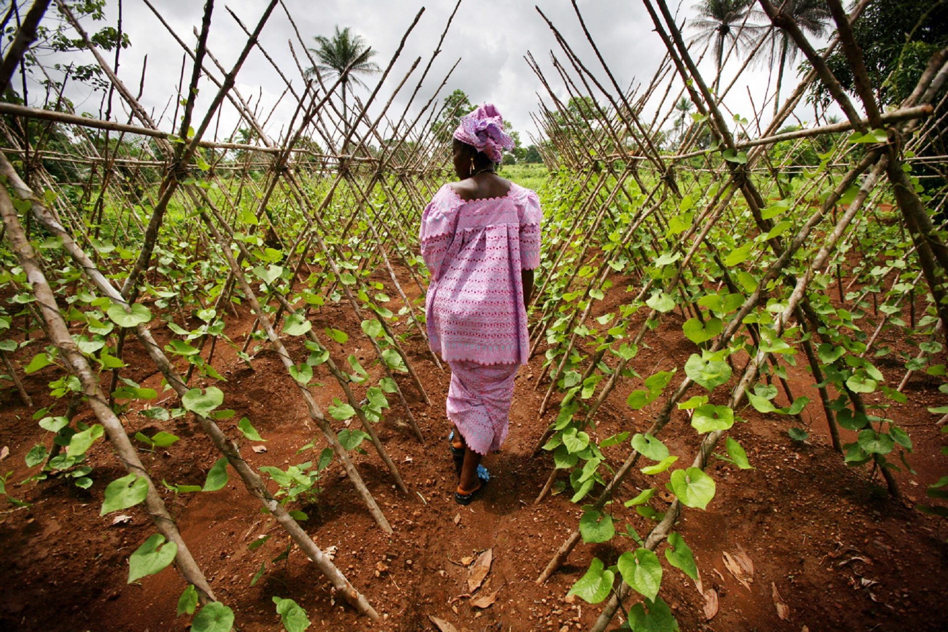 Port Loko, Sierra Leone -Ñ Marie Kabba, 52, a widow and member of the Kamuyu group in Port Loko Township, surveys a row of Chinese beans that climb trellised bamboo poles. The Kamuyu Women's Development Organization are able to realize higher food-production by working as a cooperative to farm their land. Kamuyu means 'perseverance' in Temne, one of the native languages in Sierra leone. What is now arable land for this cooperative of women was once a refugee camp for more than a thousand internally displaced people during Sierra Leone's 11-year civil war. The war, fought mostly over the countryÕs rich natural mineral resources, plunged the small West African country into destitution. Although the country is best known for its diamonds, many Sierra Leoneans feel the most valuable resource they lost in the war was their livestock. Together with the people of Sierra Leone, Heifer is working to develop livestock and agriculture projects, helping the country heal from its crises and build self-sustaining communities.