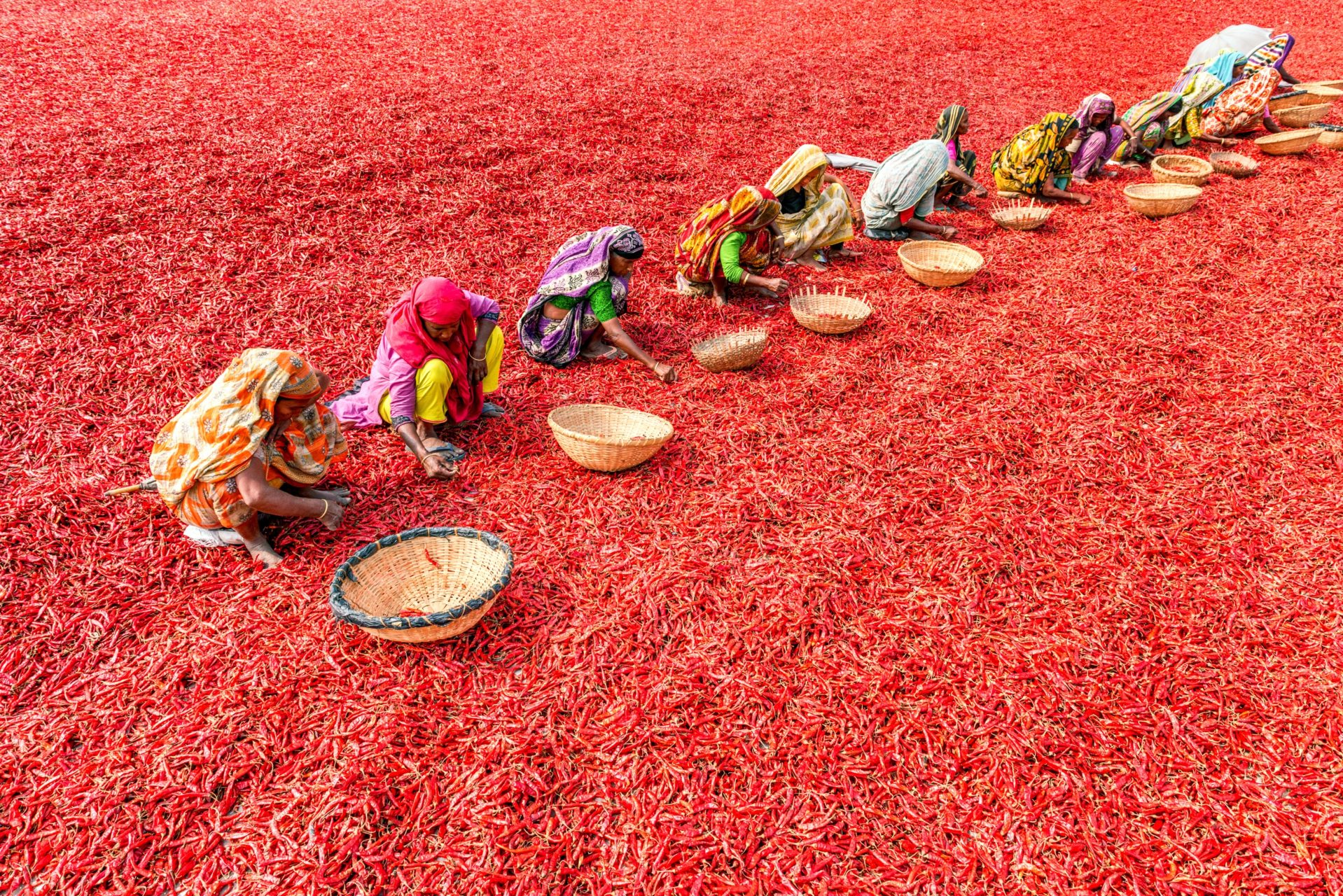 women collecting chilies in a field full of red chilies